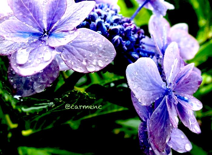 パープル紫陽花