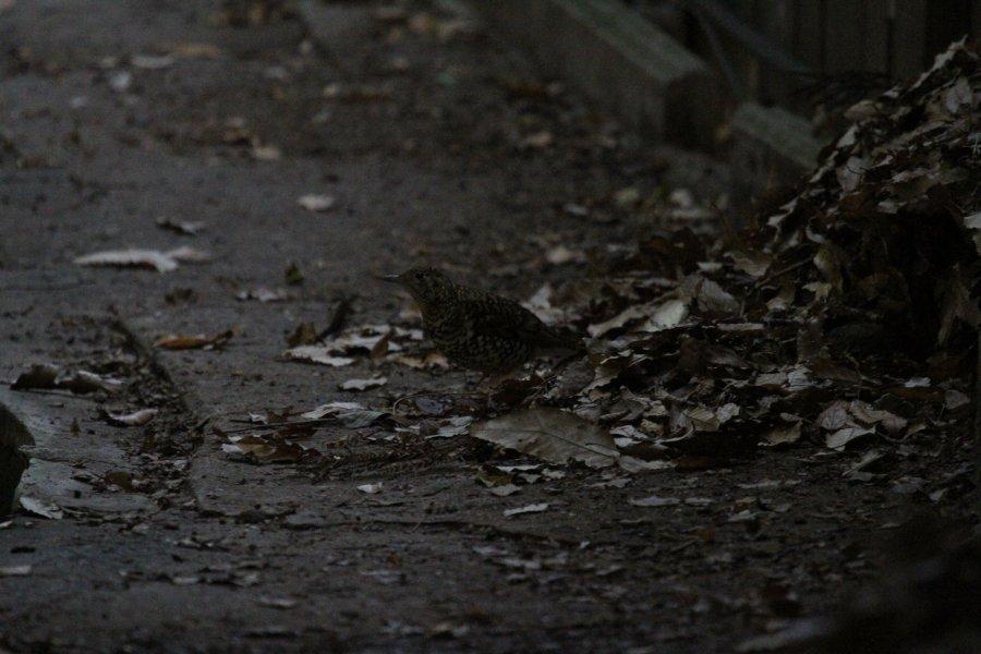 トラツグミ2014-12-25-1-9-6高槻市-摂津峡IMG_1625