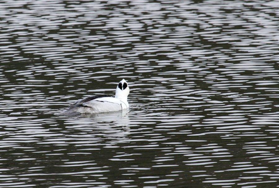 ミコアイサ2015-1-8-6-T山田池公園IMG_1881