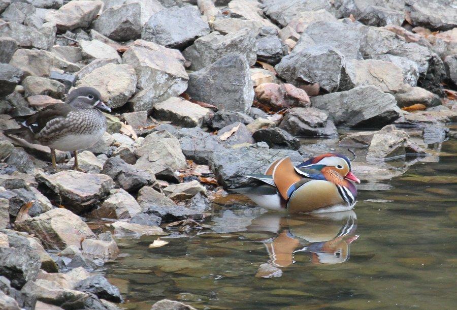オシドリ2015-1-8-2-T山田池公園IMG_1351