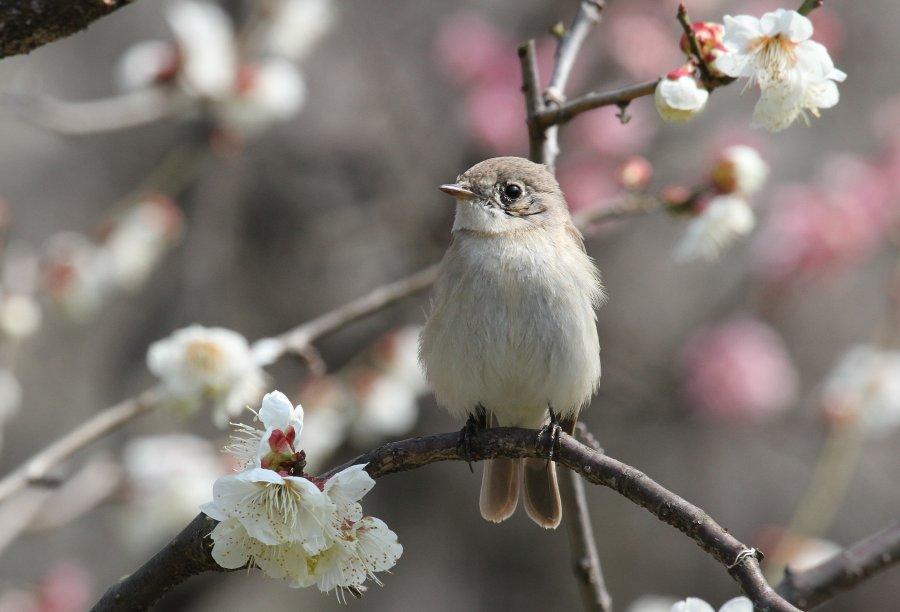 オジロビタキ2015-3-13-9-T万博公園IMG_0377