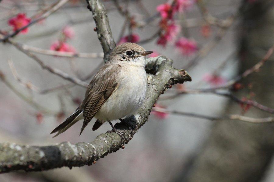 オジロビタキ2015-3-13-22-S万博公園IMG_0944