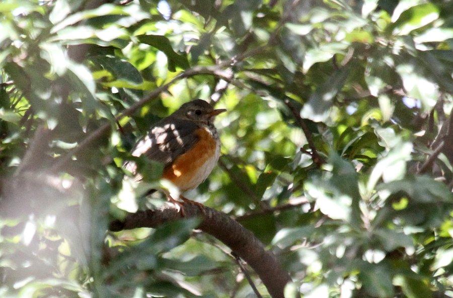 カラアカハラ2015-4-18-10-TIMG_0807