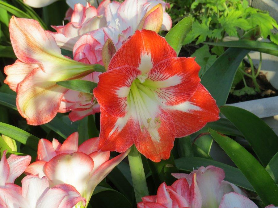アマリリス2015-5-27-1-S自宅IMG_6185