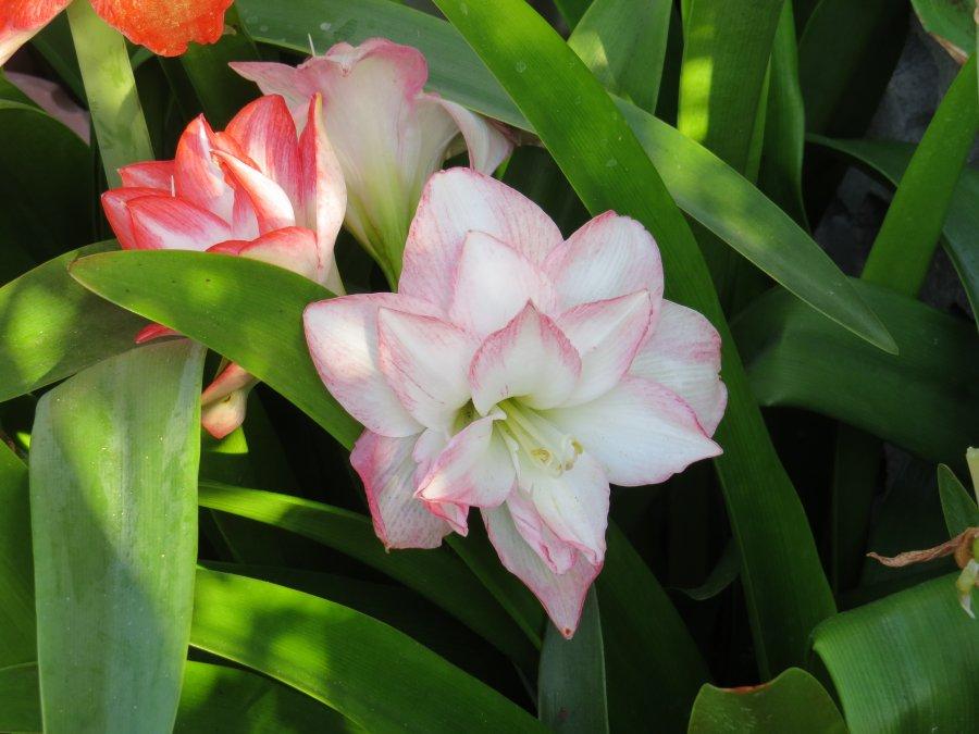 アマリリス2015-5-27-5-S自宅IMG_6201