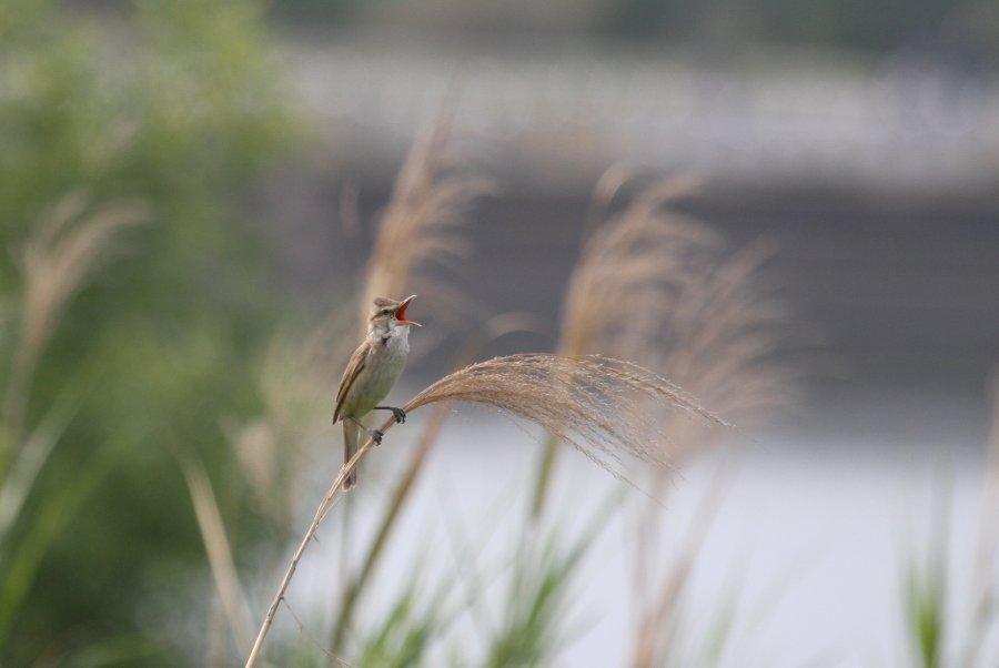 オオヨシキリ2015-5-28-6-T淀川-大塚IMG_0330