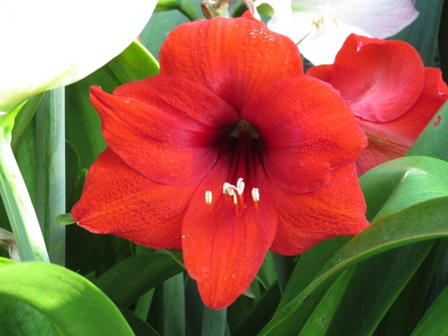 アマリリス2015-5-30-2-s時滝IMG_6264