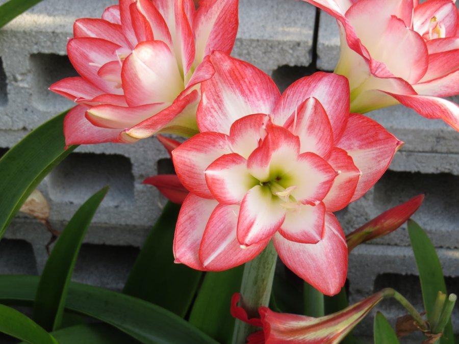 アマリリス2015-5-30-4-s自宅IMG_6269
