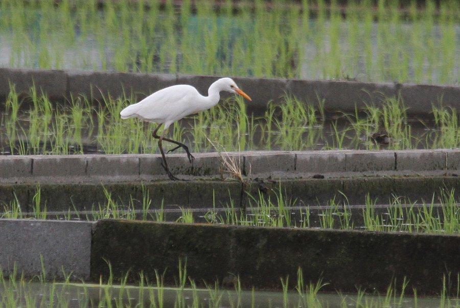 アマサギ2015-6-12-2-T高槻市-三島江IMG_0023