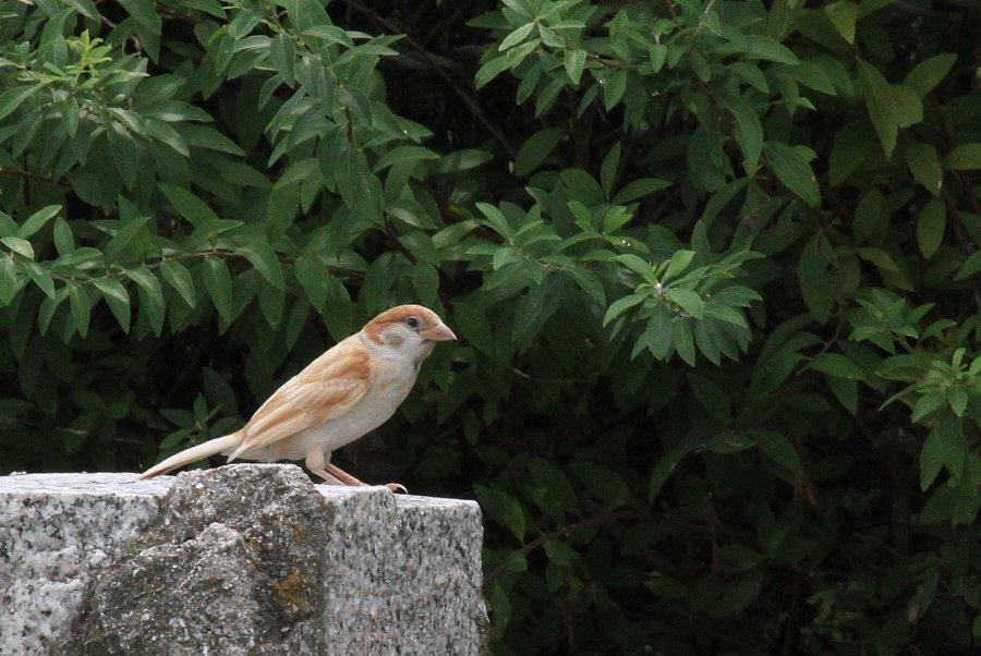 スズメ2015-6-22-2-T淀川-仁和寺IMG_0541