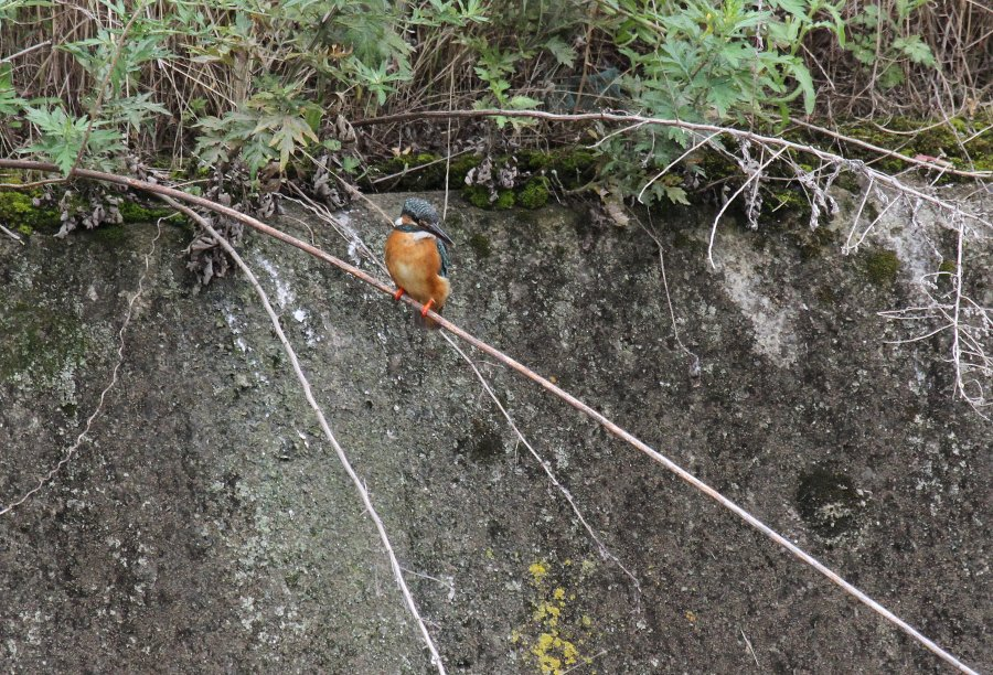 カワセミ2015-6-28-2-T枚方市-天の川IMG_0671