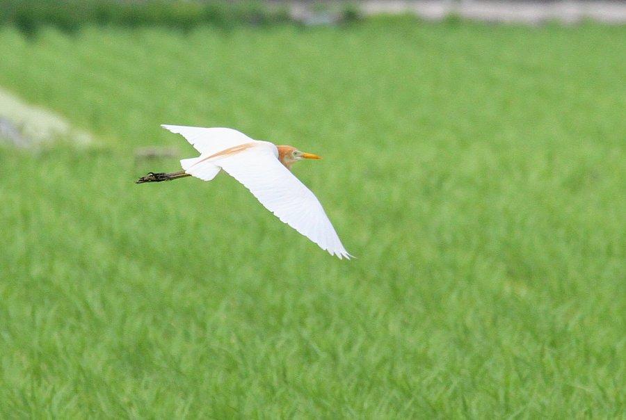 アマサギ2015-7-2-9-t高槻市-三島江IMG_0074