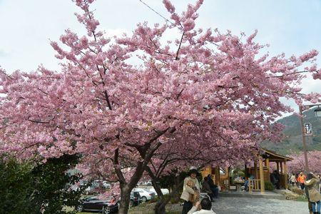 20150308sakura5.jpg