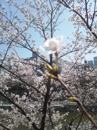 20150330sakurasaku4.jpg