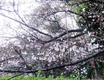 紫金山の桜1