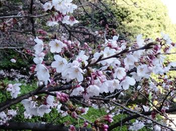 紫金山の桜2