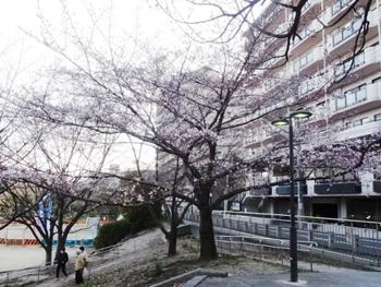芝生公園の桜1