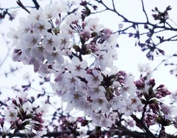 芝生公園の桜2