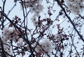 芝生公園の桜3