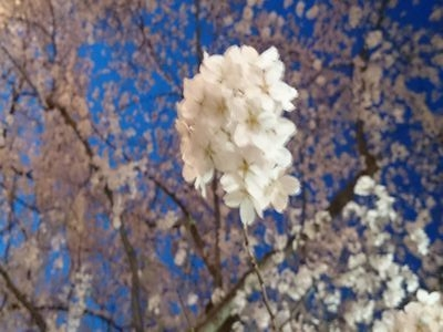 さわやか園の桜