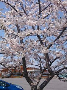 園の桜の木