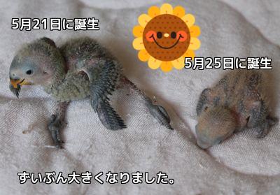 ロワレーヌの雛たち