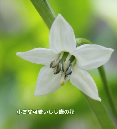 しし唐の花