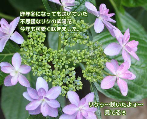 リクの紫陽花