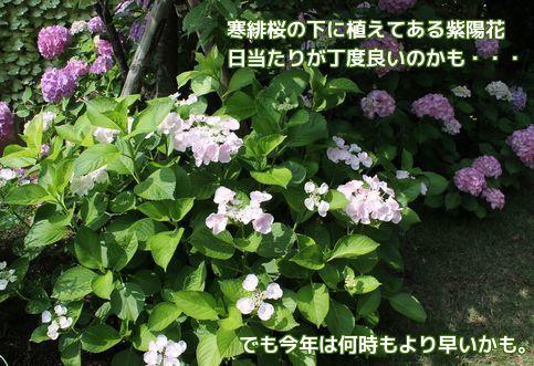 去年より早い紫陽花