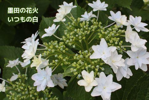 墨田の花火、白色