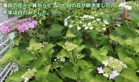 墨田の花火ピンクと白