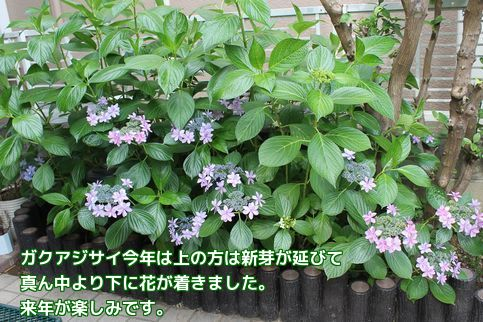 リクの紫陽花だね
