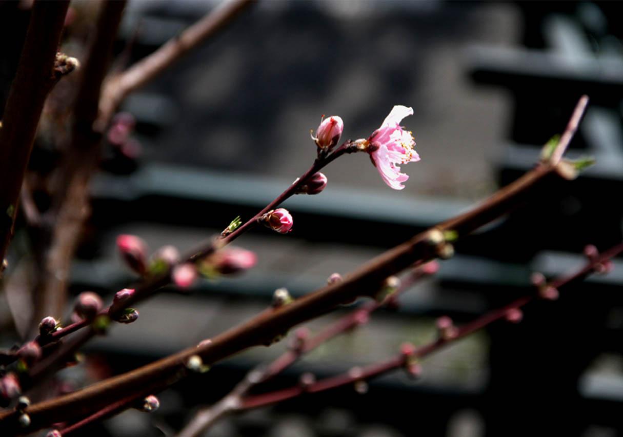 春分 バラ一番花(1)
