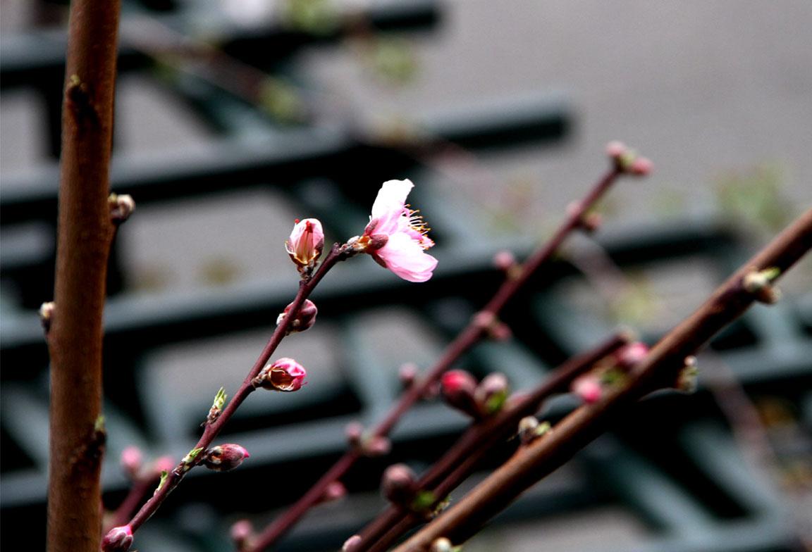 春分 バラ一番花(2)