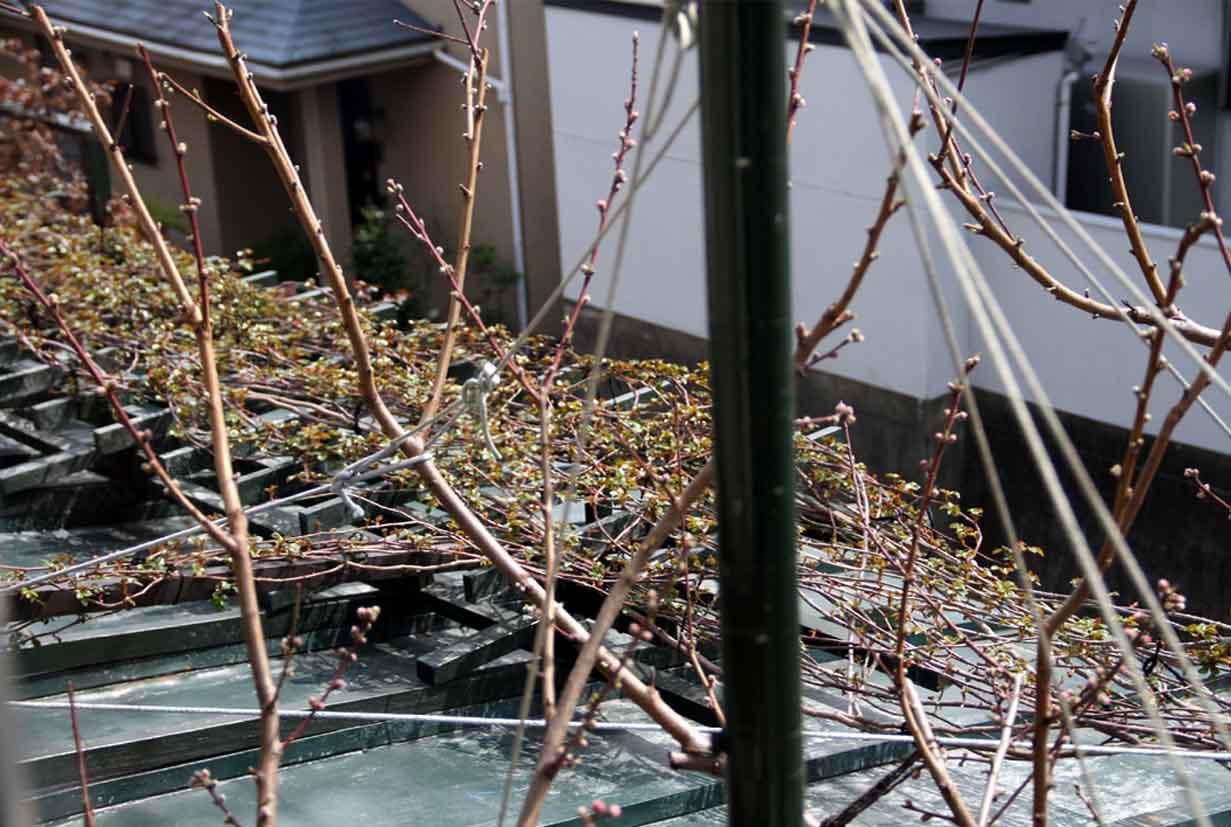 春分 バラ一番花(3)