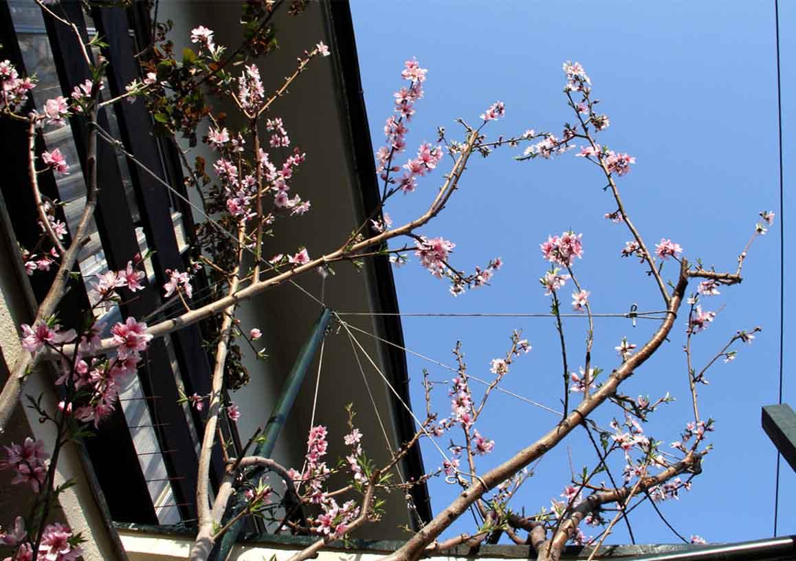 バラの新芽と桃の花(2)
