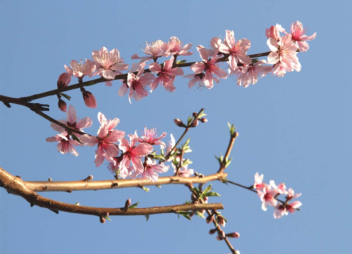 バラの新芽と桃の花(3)