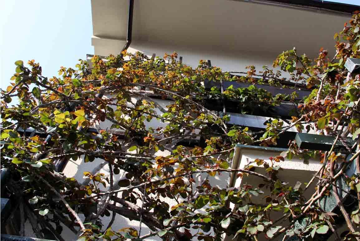 バラの新芽と桃の花(5)