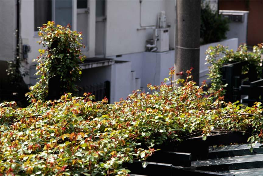 屋根から見下ろすバラ模様(1)