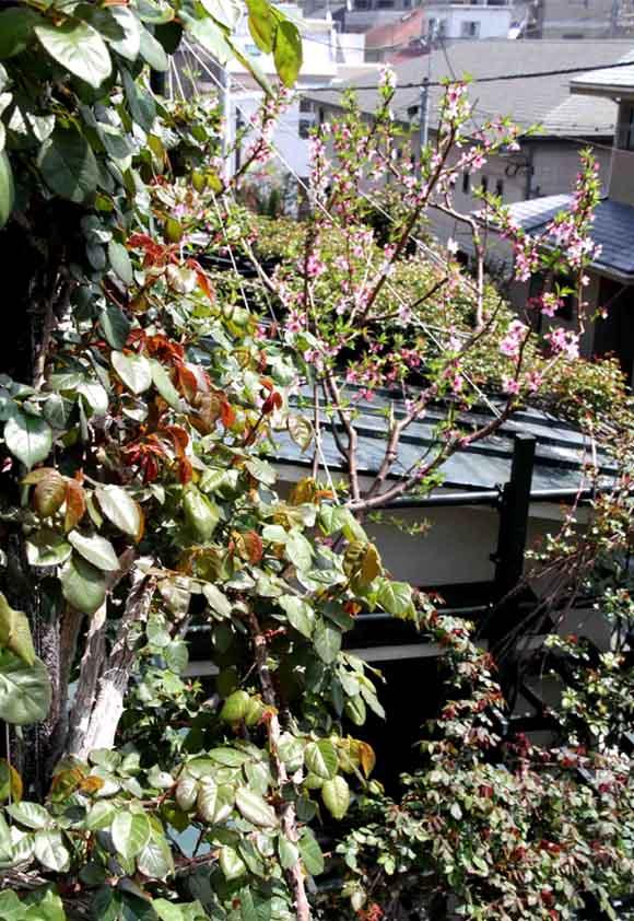 屋根から見下ろすバラ模様(8)