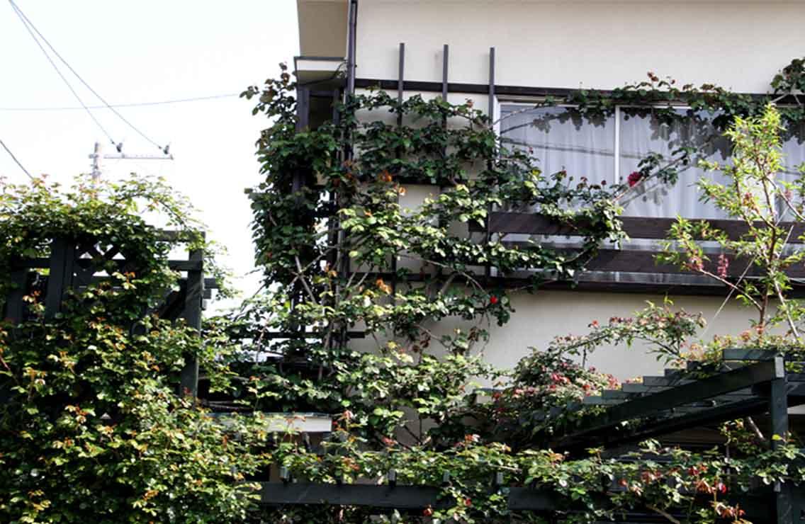 茂るつるバラ(2)