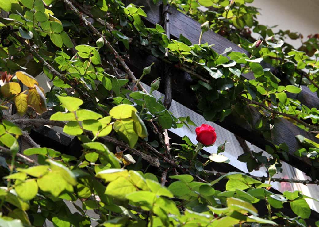 茂るつるバラ(3)