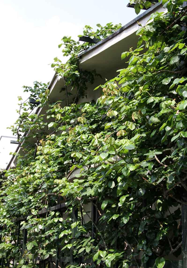 茂るつるバラ(4)