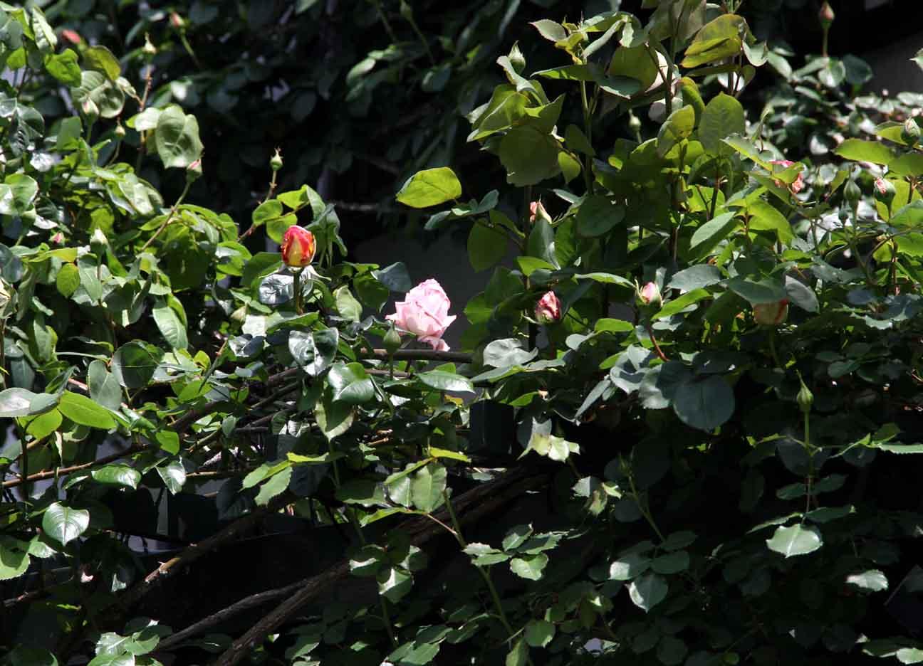 4月24日のバラ(5)