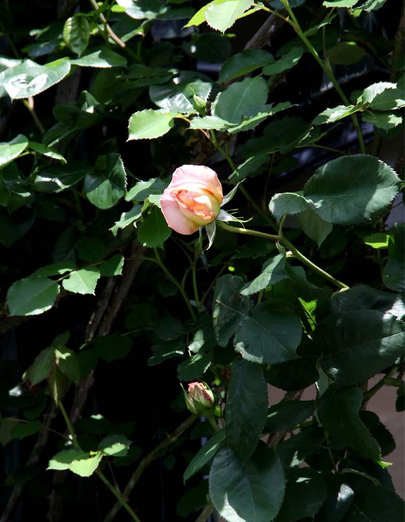4月24日のバラ(6)