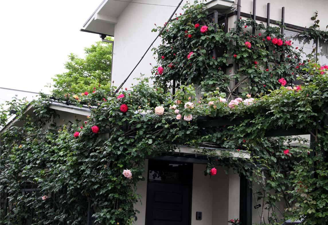 4月29日のバラ(1)