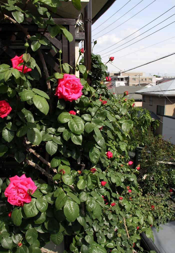 4月29日のバラ(3)