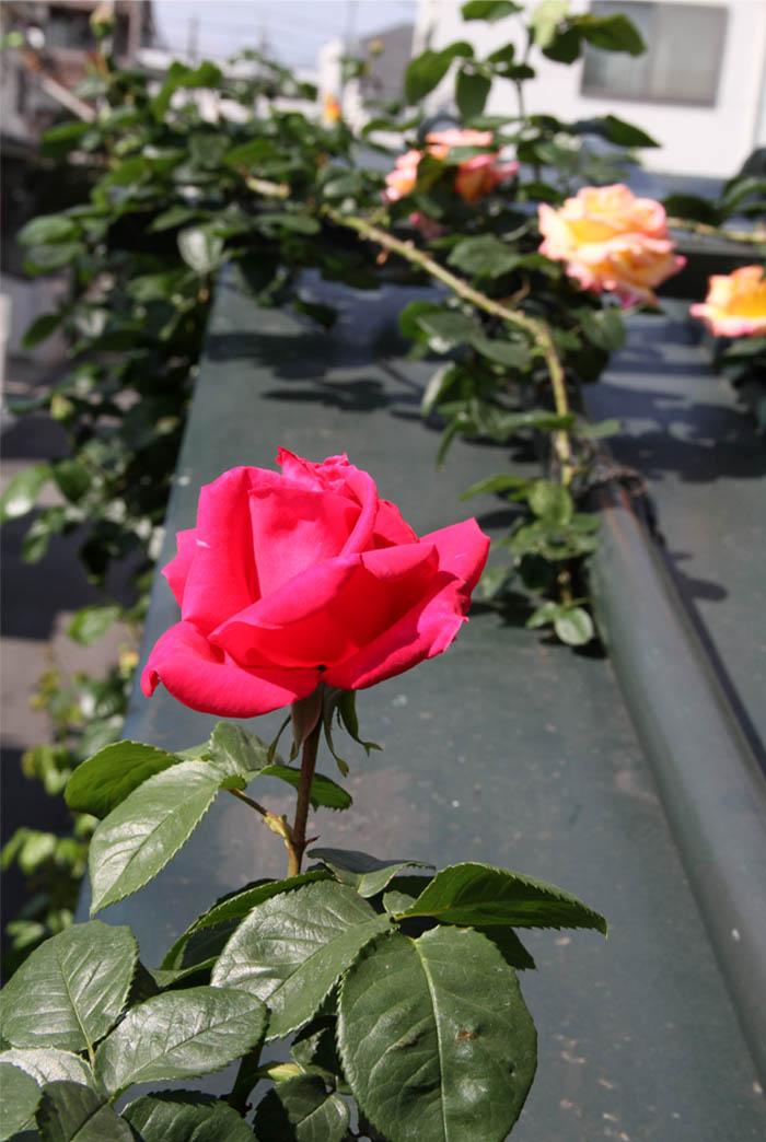 4月29日のバラ(5)