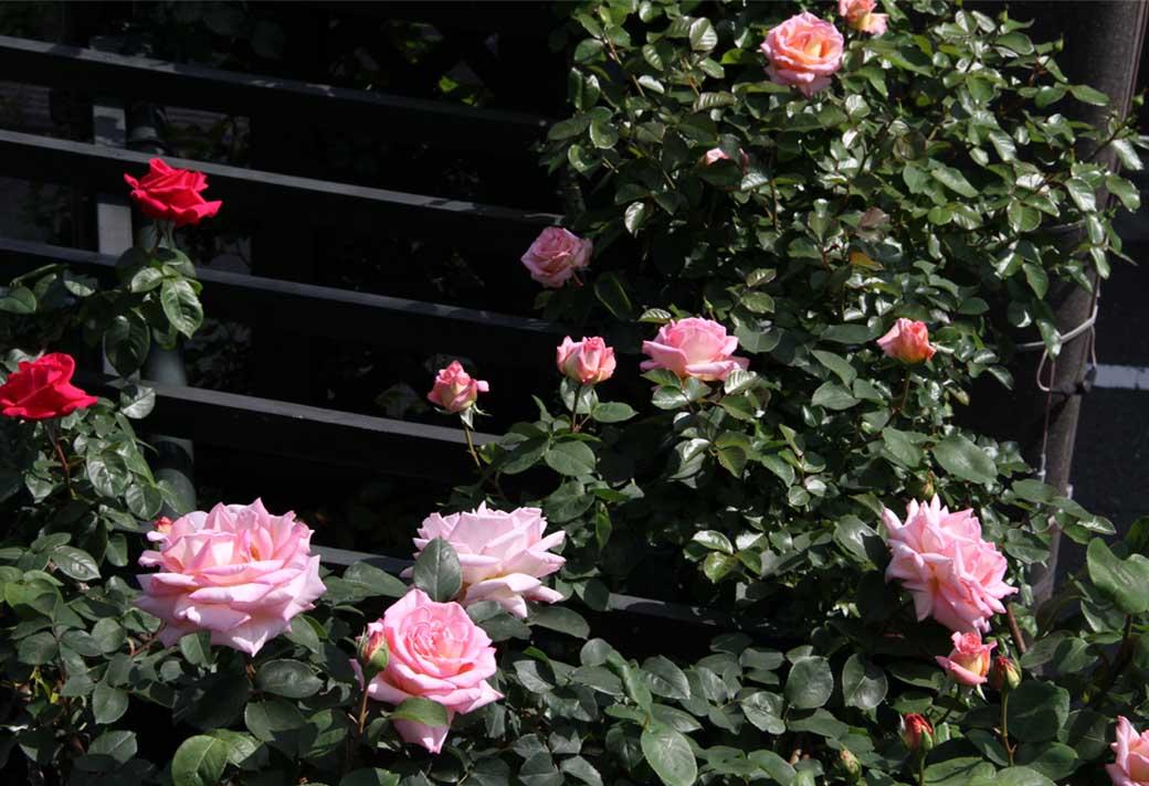 4月29日のバラ(6)