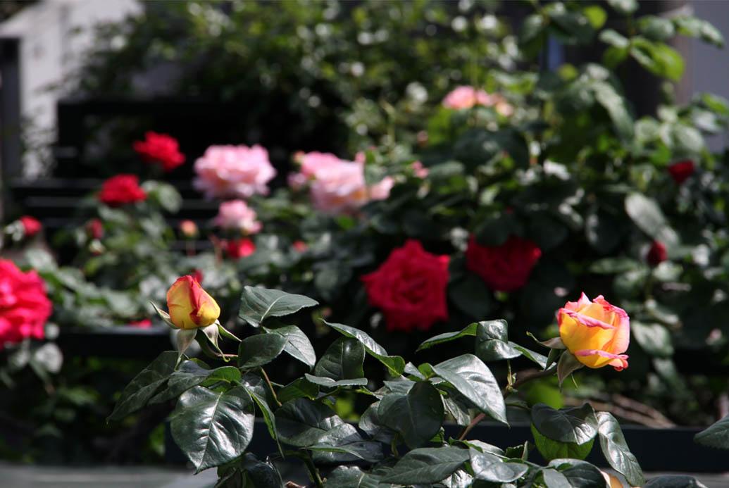 4月29日のバラ(7)